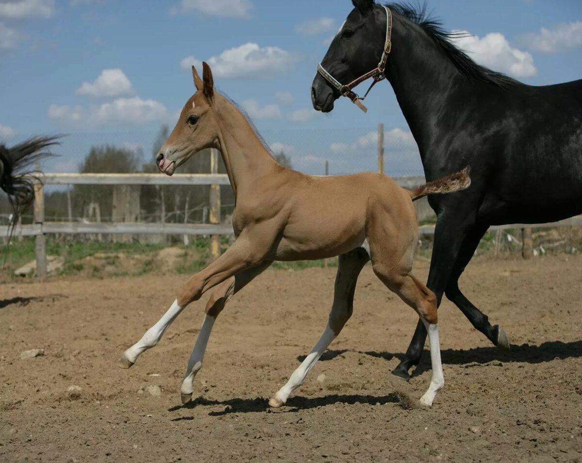 Ахалтекинская лошадь (akhal-teke breed) фото и история породы