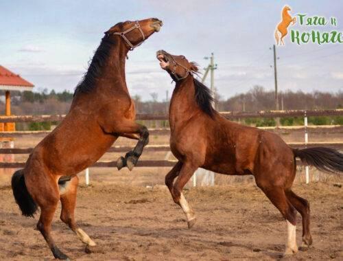 Как научить лошадь командам: инструкция, целоваться, стыдиться, лежать, давать лапу