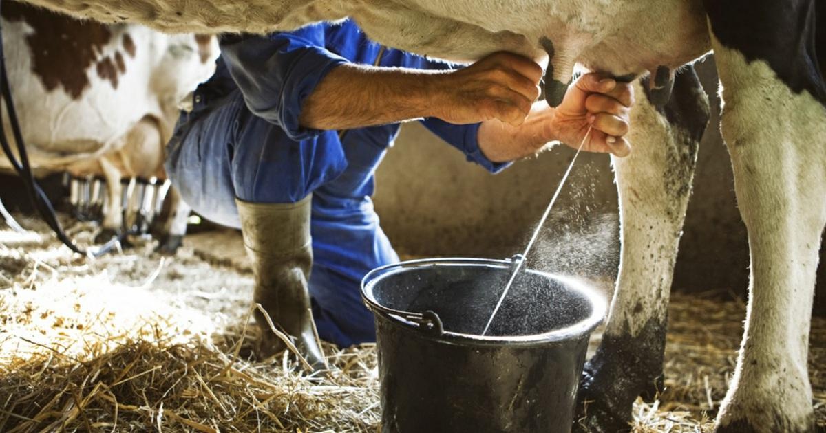 Молоко с ароматом коровы