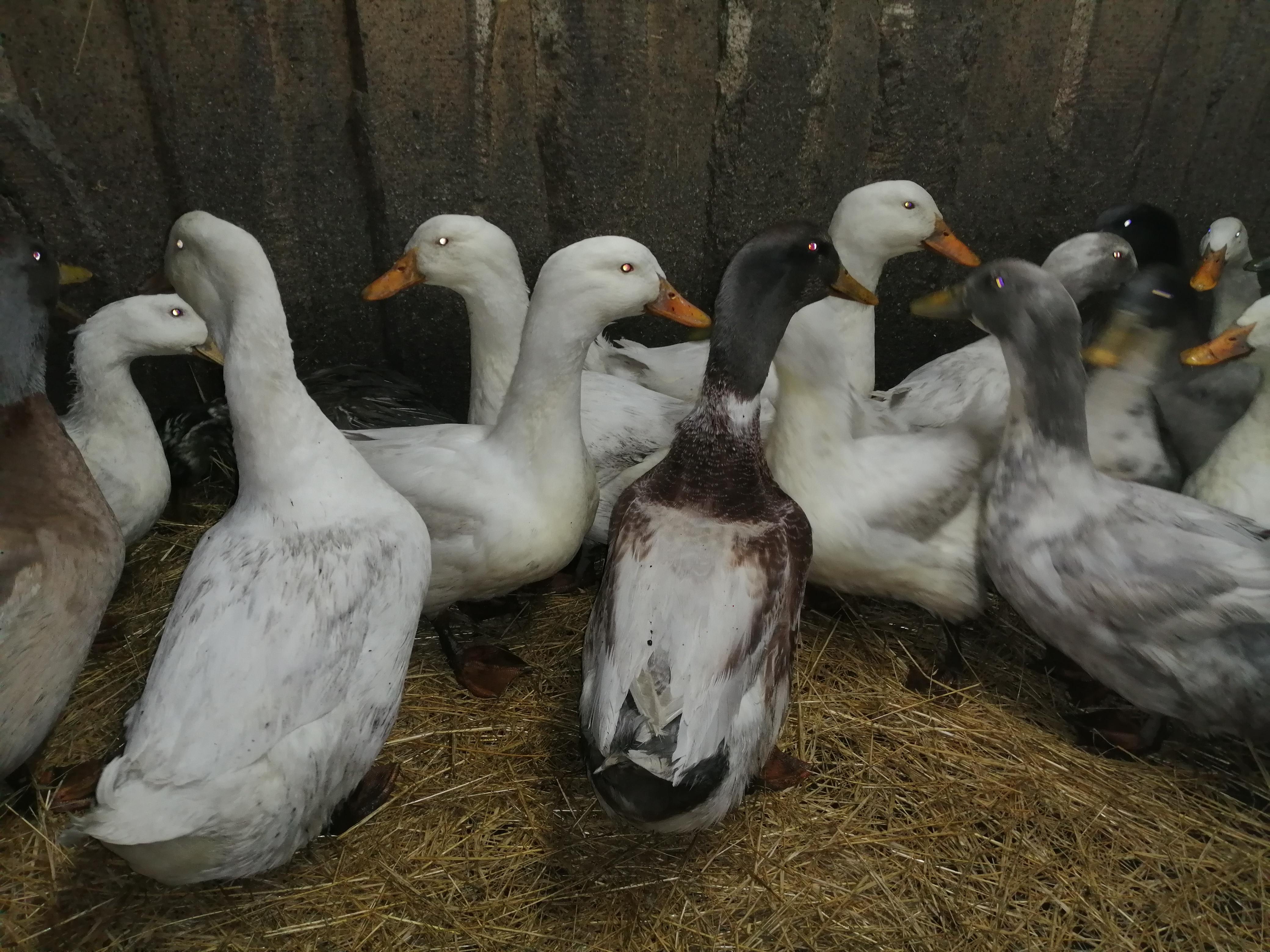 Благоварская утка (22 фото): описание белых уток, плюсы и минусы породы. особенности выращивания утят