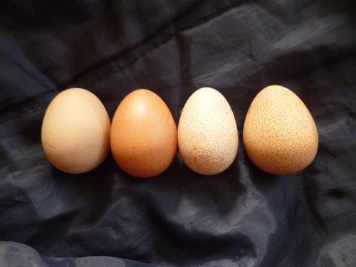Яйца цесарки: польза и вред для здоровья