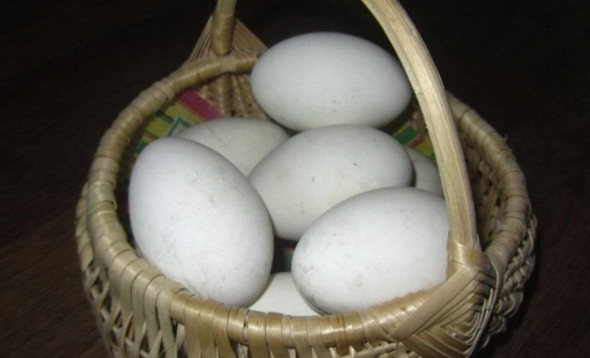 Когда начинают нестись домашние гуси, сколько яиц несет гусыня в год