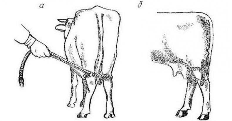 Как правильно доить корову? график и процесс.