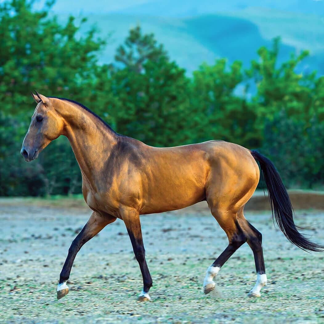 Ахалтекинская лошадь: использование и особенности разведения — cельхозпортал