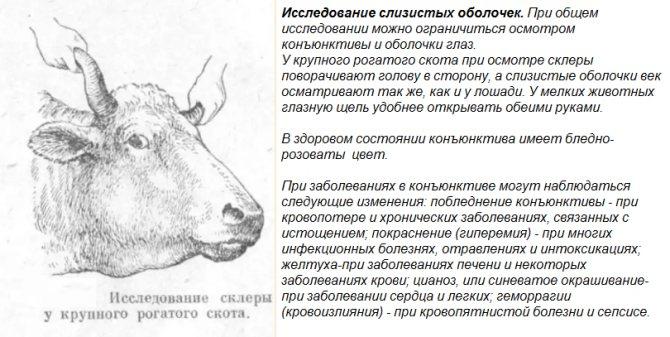 ᐉ лептоспироз крс: симптомы, вакцина - zooon.ru