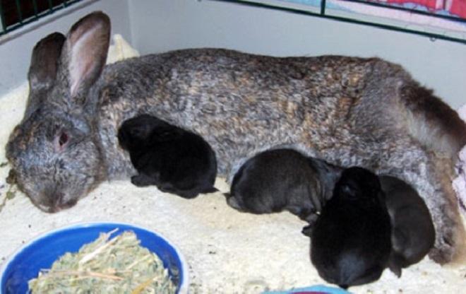 Материнские проблемы крольчих: поедание или разбрасывание малышей