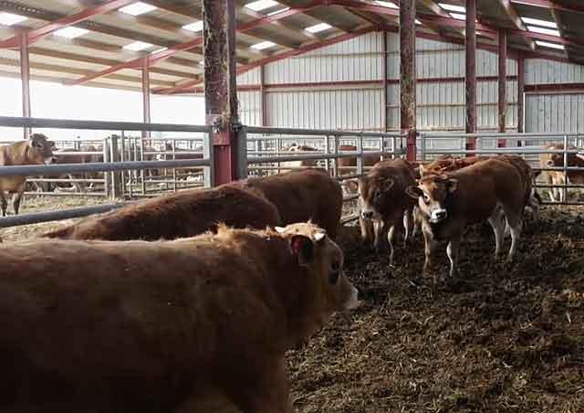 Бизнес-план по откорму и разведению бычков на мясо