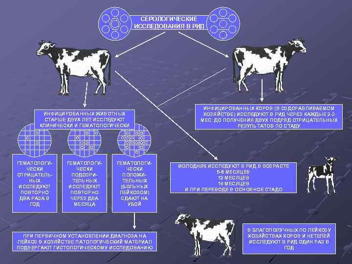 Заболевание лептоспироз у крупного рогатого скота