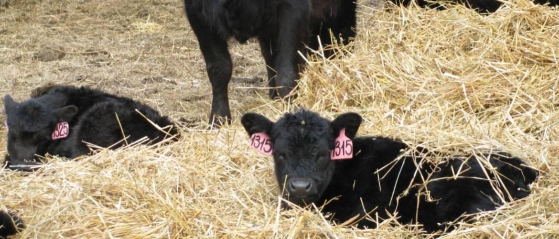 Сколько весит теленок: таблица по месяцам, новорожденный