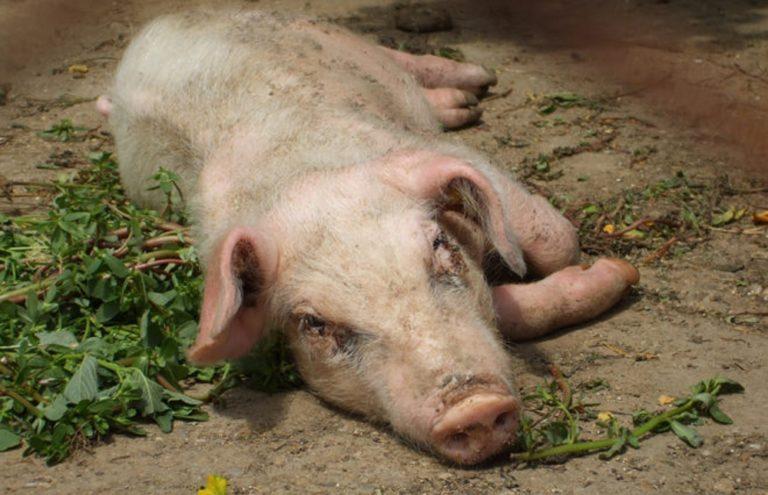 Болезнь ауески у свиней: симптомы и лечение