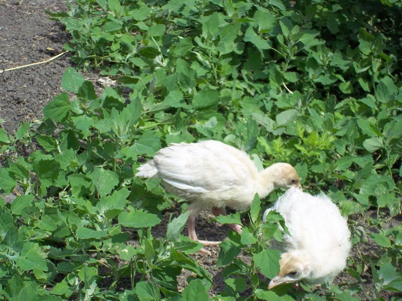 Зелень и трава цыплятам – какую и когда можно давать, как скармливать