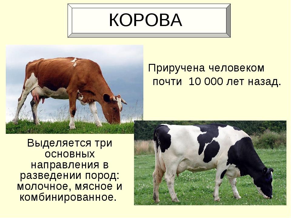 Красная степная порода коров: характеристики, фото телок и быков, количество молока, особенности отела и отзывы о телятах — moloko-chr.ru