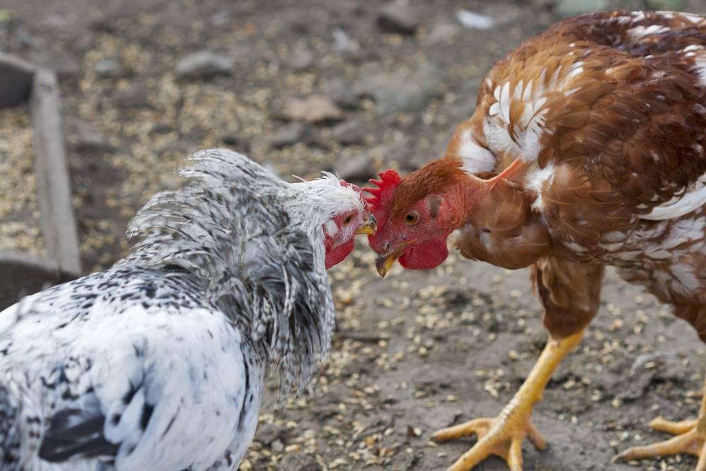 ✅ как подсадить новых кур к старым курицам и что делать, если клюют молодку - tehnomir32.ru