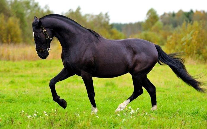 Русский рысак: верховая порода лошадей, особенности, содержание