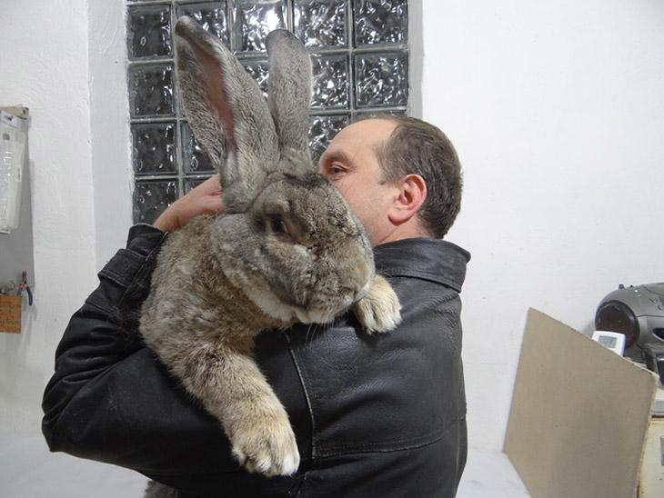 Самый большой кролик в мире: гигантские породы-рекордсмены