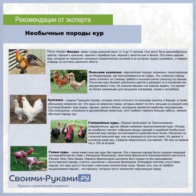 Московская черная порода кур: описание