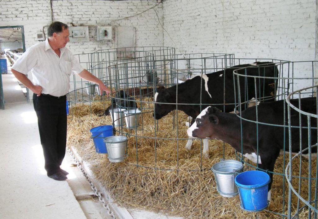 Домашний скот - описание, виды и современные технологии в скотоводстве (150 фото)