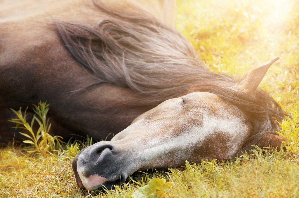 Дрема стоя или глубокий сон лежа — чем природа наделила лошадей