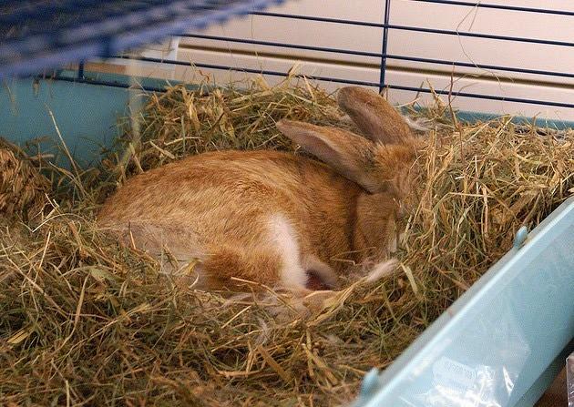 Период беременности у кроликов: сколько длится и сколько кроликов может принести крольчиха?