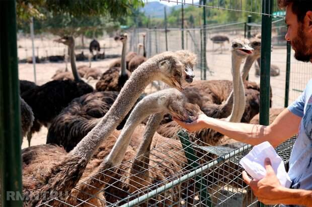 Содержание страусов в домашних условиях: особенности и нюансы их разведения