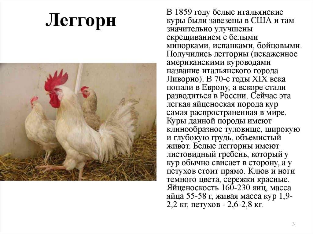 Декоративные породы кур: обзор пород с фото и правила содержания