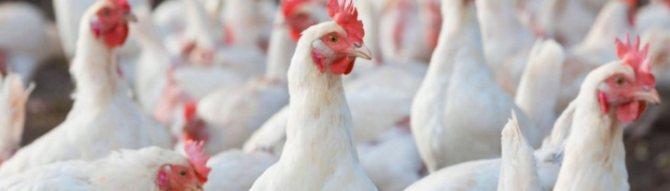 Порода кур декалб белый: характеристика, уход и кормление
