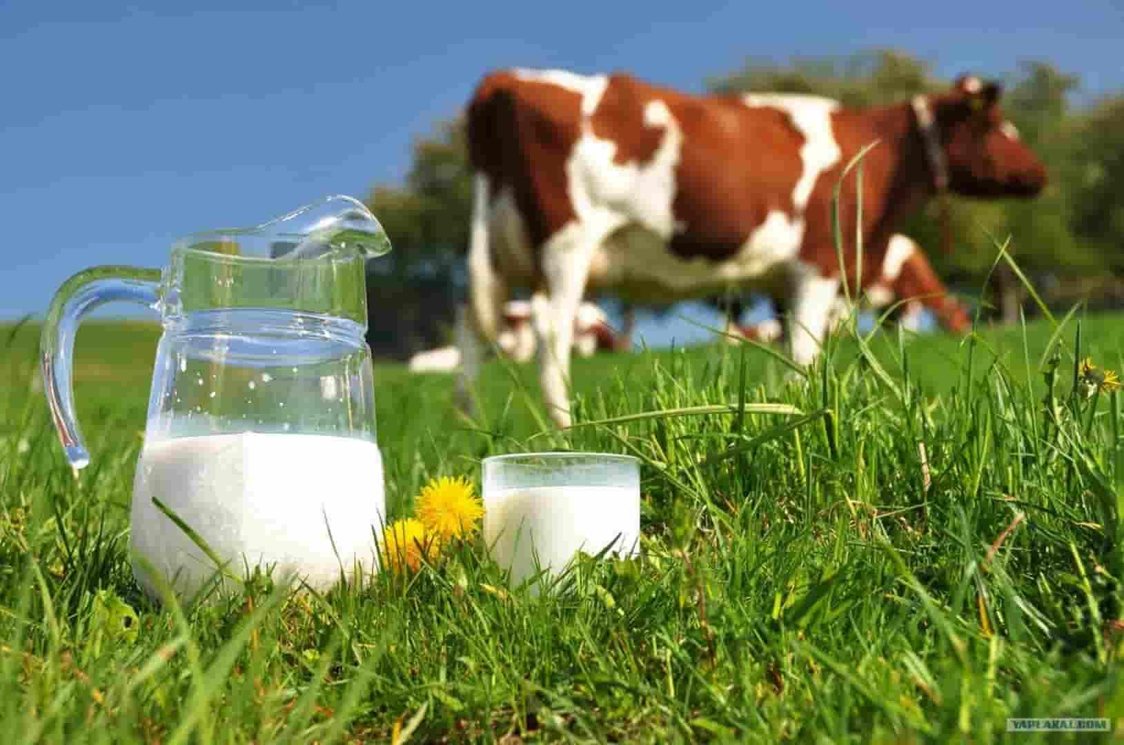Почему молоко пахнет коровой и как повысить его жирность?