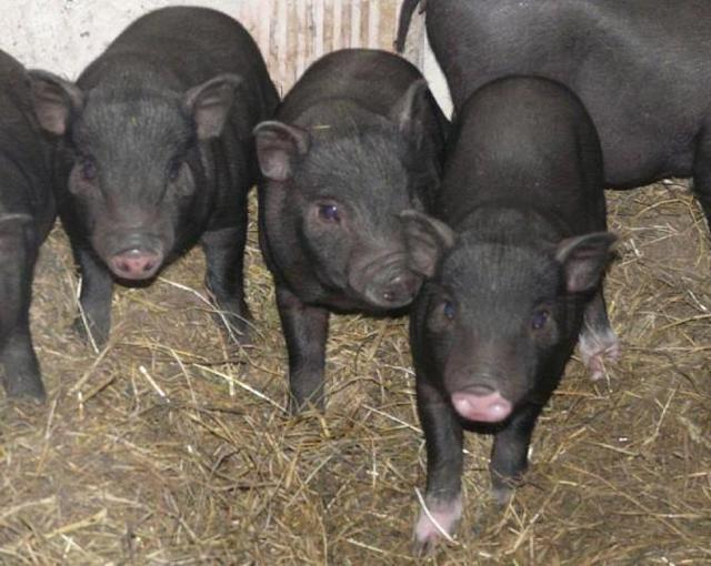 Вьетнамские вислобрюхие свиньи: внешний вид, кормление, опорос,