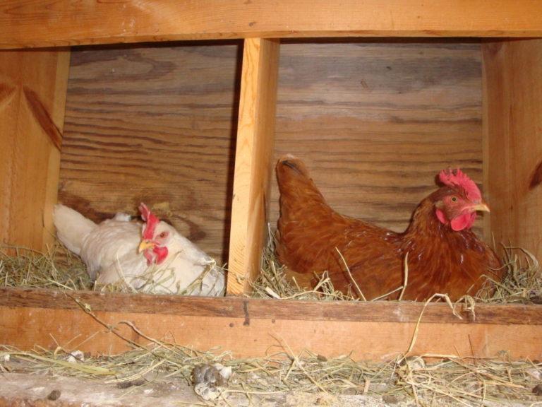 Почему куры клюют яйца и как решить эту проблему: инструкции, фото- и видеообзор