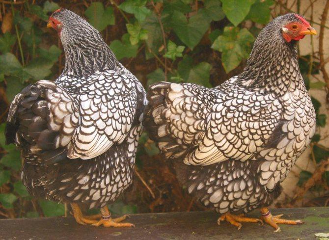 Порода куриц виандот: содержание и перспективы разведения — cельхозпортал