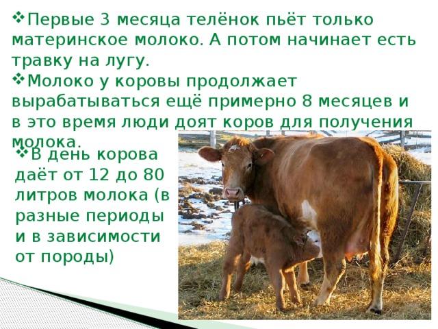 Сколько корова дает молока в сутки, в год, молочные породы коров