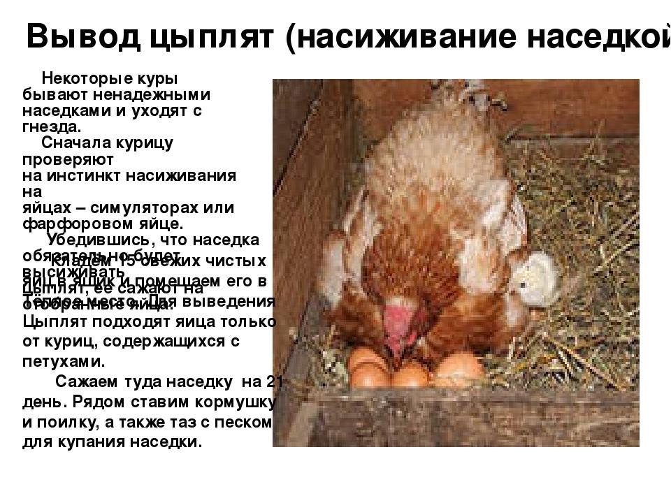 Курица-наседка лучше инкубатора