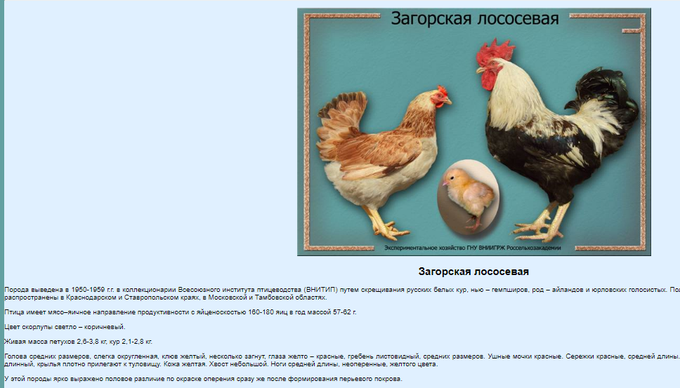 Загорские лососевые куры — фото и отзывы, описание породы