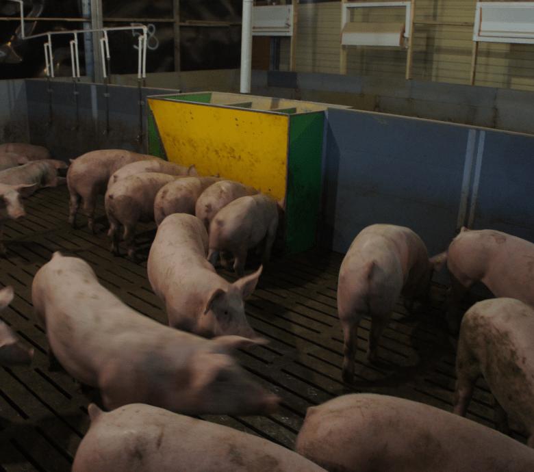 Кормушки для свиней: какие бывают и как сделать своими руками?