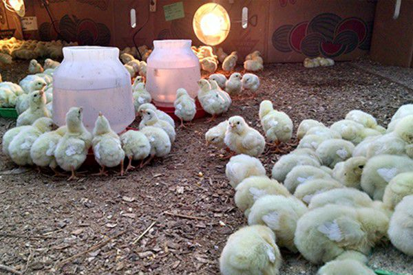 Как выращивать цыплят в домашних условиях?