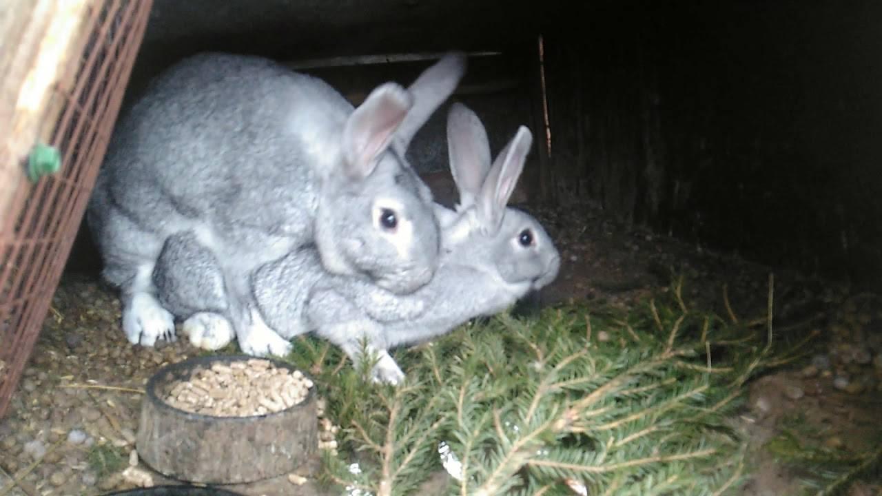 ᐉ кролики породы советская шиншилла: описание и характеристика - zooon.ru