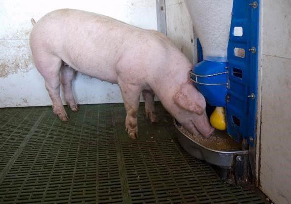 Как сделать кормушки для свиней своими руками в домашних условиях