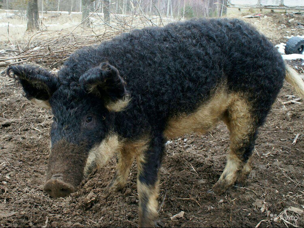 Венгерская мангалица: описание и характеристика породы свиней, разведение поросят, отзывы владельцев