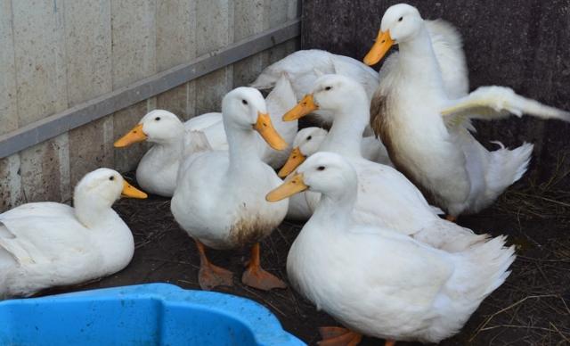 Башкирская утка: описание породы, разведение и питание в домашних условиях