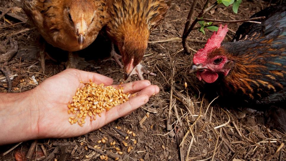 Можно ли кормить кур горохом: как правильно давать и в каких количествах