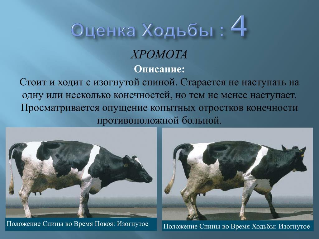 Болезни коров и их симптомы, а также способы лечения
