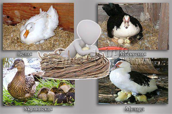 Как посадить утку на яйца: основные правила и методы