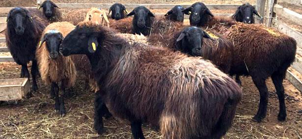 Преимущества и характеристики эдильбаевской породы овец