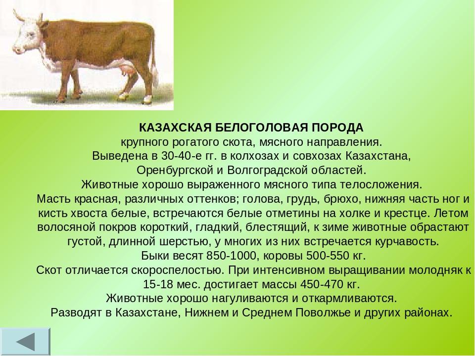 Характеристика породы айрширских коров, особенности содержания и советы по уходу