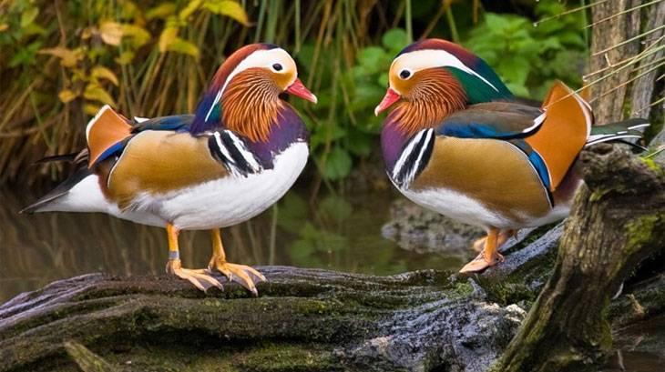 Утка мандаринка: место обитания, рацион и разведение в домашних условиях