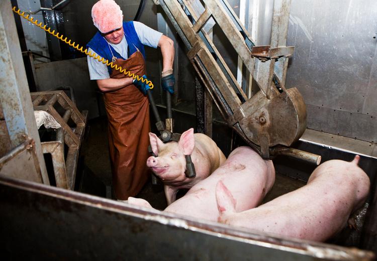 Можно ли резать свинью когда она гуляет (фото и видео)