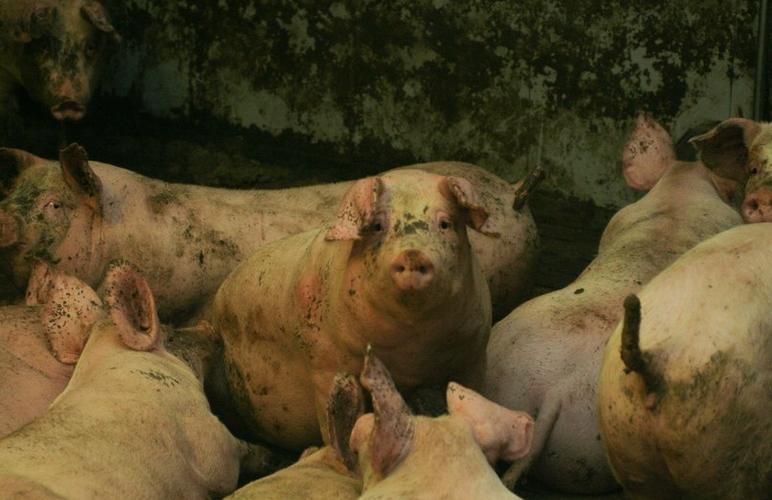 Вирус африканской чумы свиней