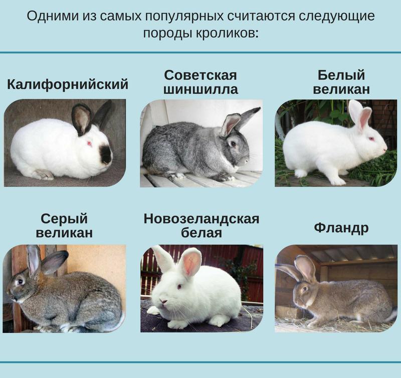 Полтавское серебро - кролики этой породы и их разновидности, описание и характеристика, особенности разведения и ухода