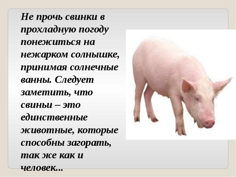 ✅ все о породе свиней крупная белая: описание, характеристики, условия выращивания - tehnomir32.ru