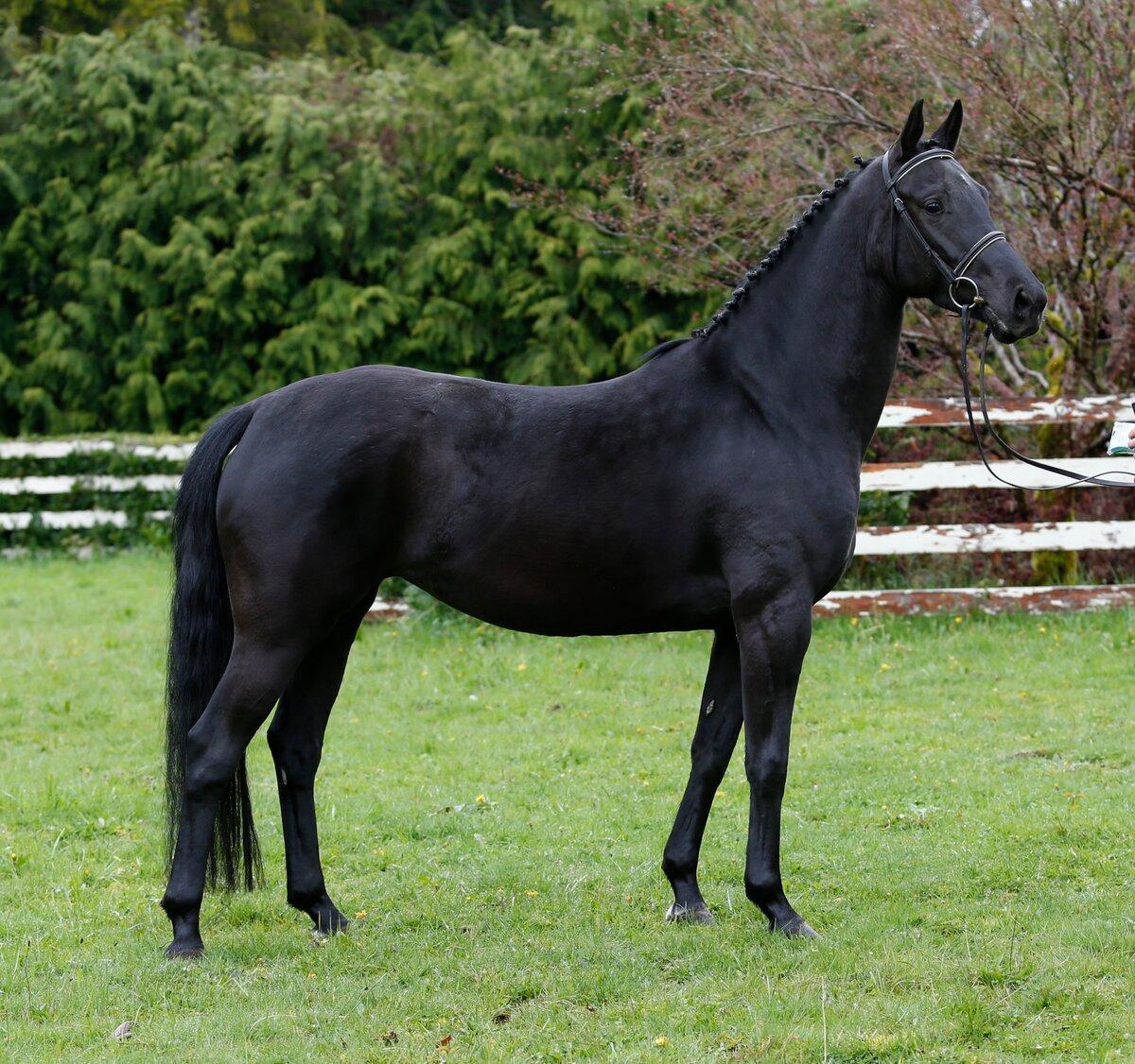 Обзор кабардинской породы лошадей: описание и полная характеристика с фото